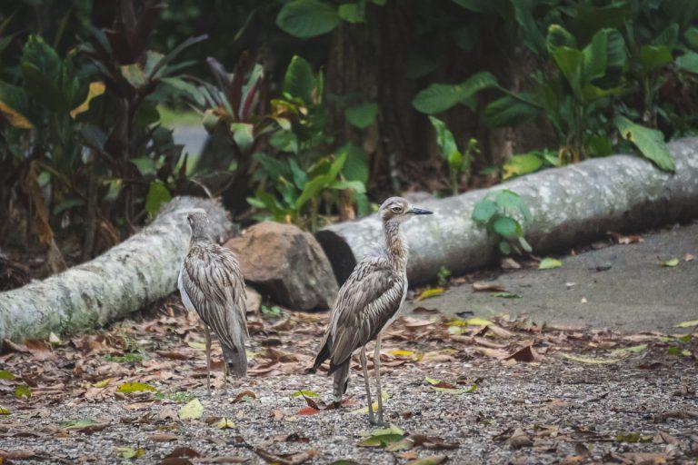 Kuranda Birds