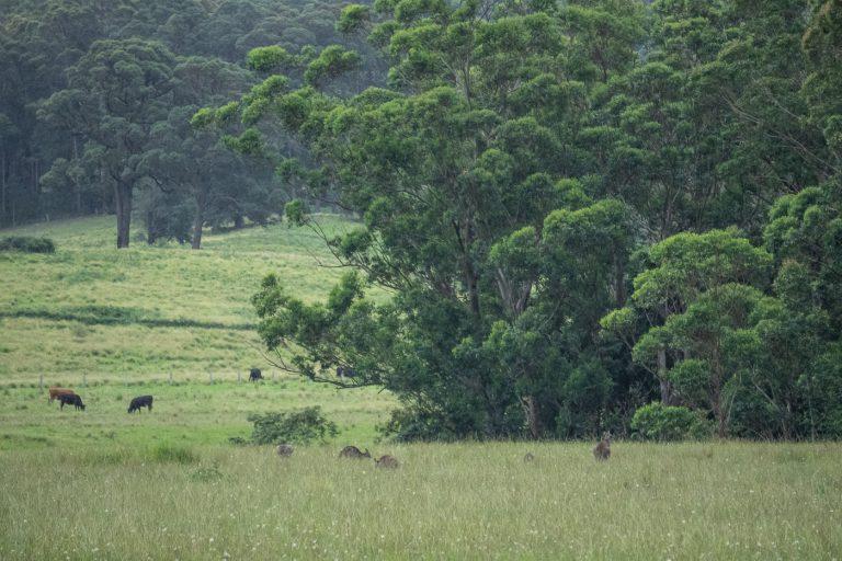 Kangaroos and cows