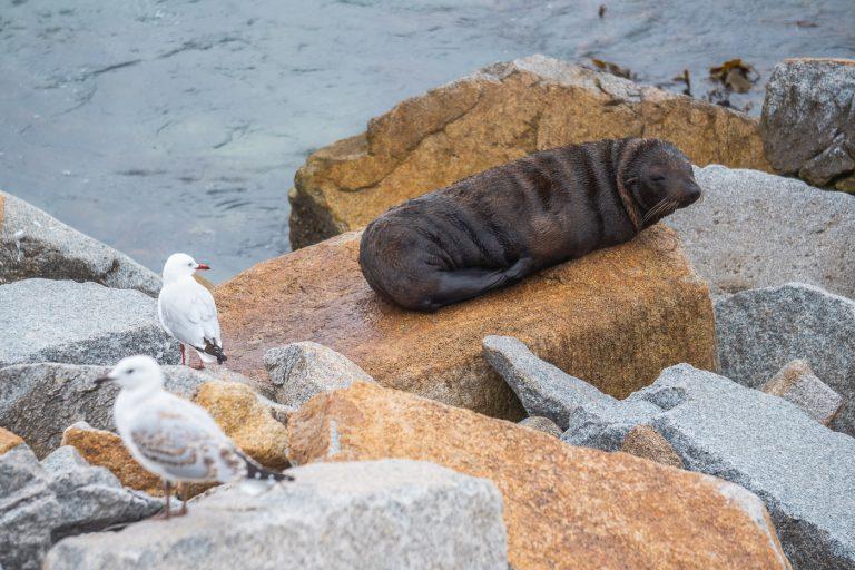 Fur Seal at Mill Bay