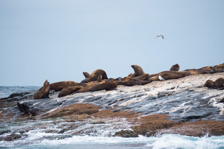Fur Seals at Montague Island