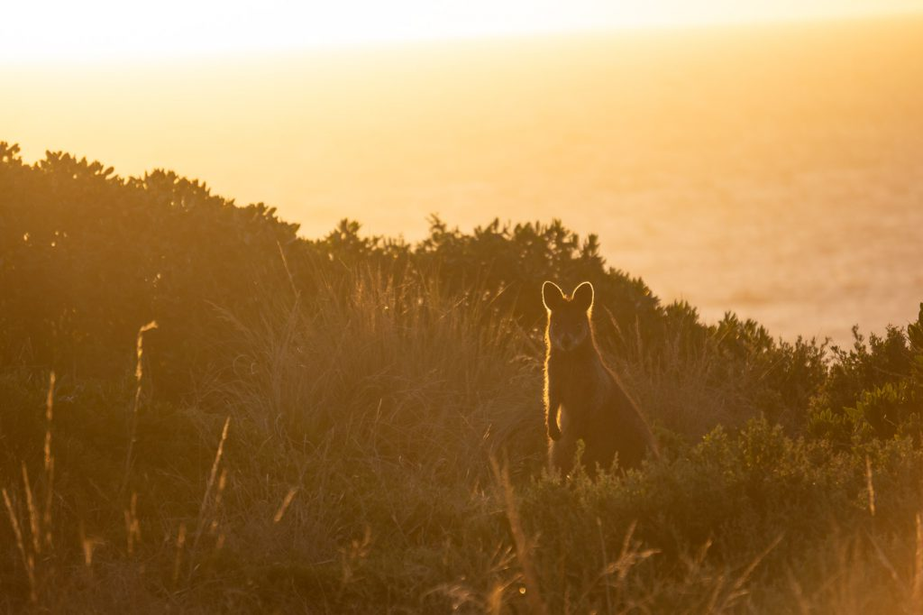 Phillip Island Wallaby