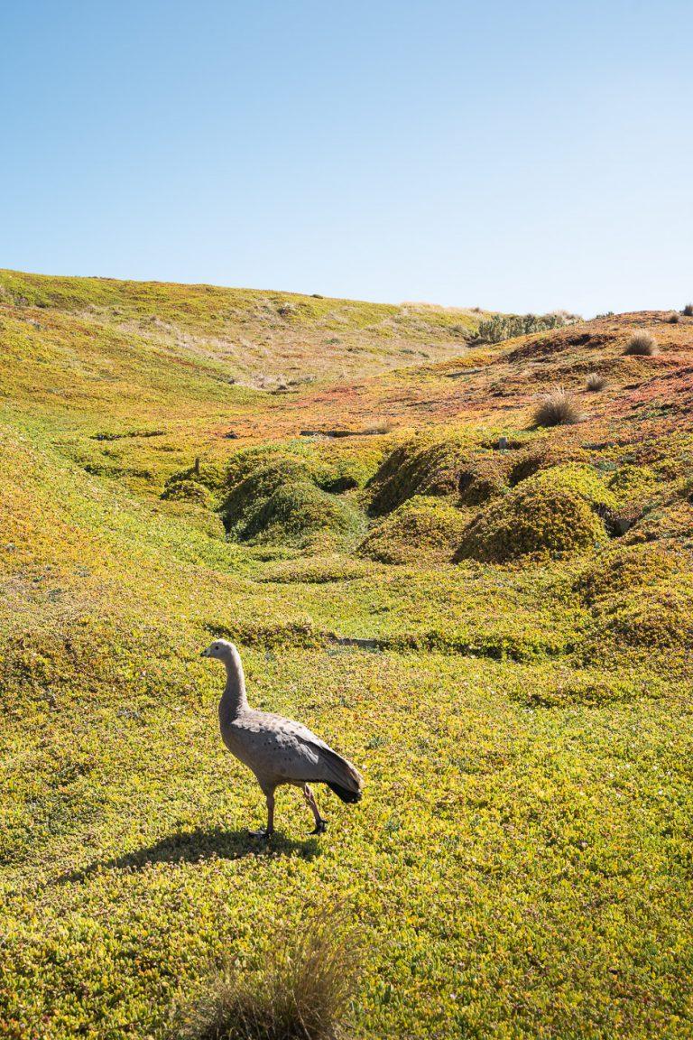 Barren Goose
