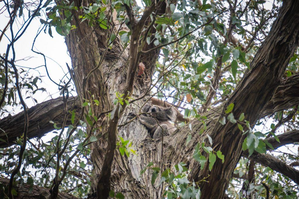 Big Hill Campground Koala