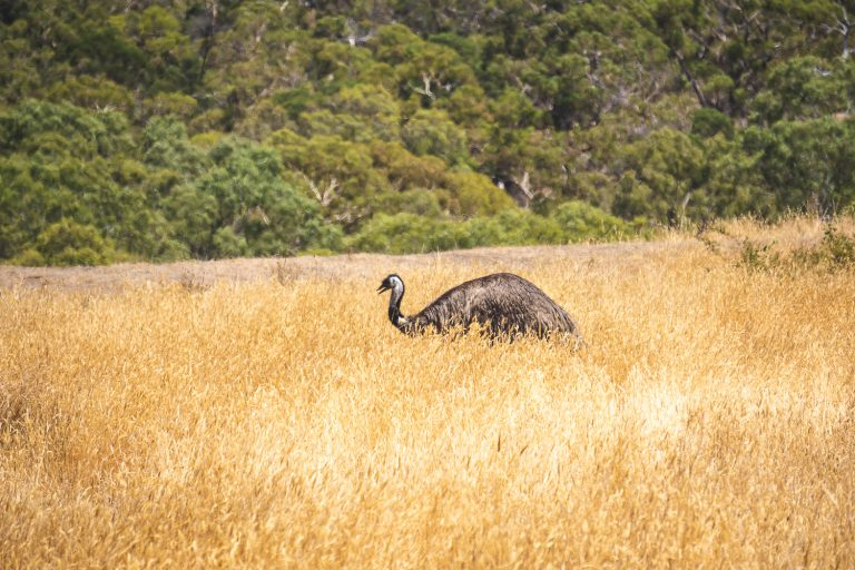 Wild Emus in the Grampians
