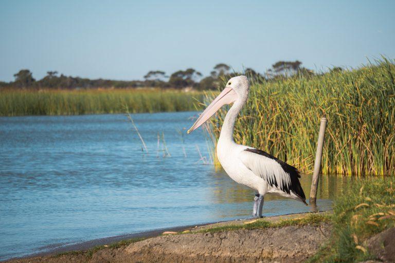 Pelicans at Lake Albert Caravan Park